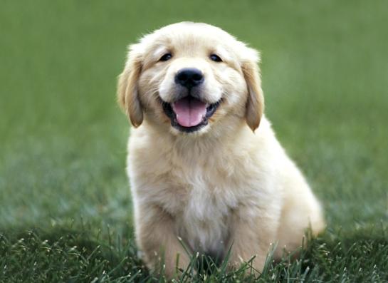 golden-retriever-puppy